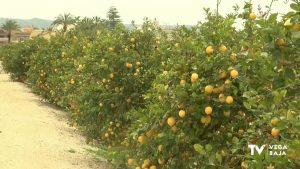 La Vega Baja cosechará este año la mitad de limones verna