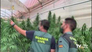 Ocho plantaciones de marihuana se hacían pasar por empresas de cáñamo en Cox y Orihuela